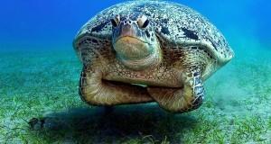 unimpressed-turtle
